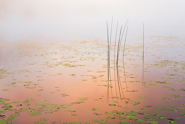 Bulrush at Dawn