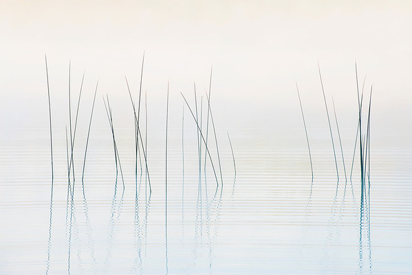 Bulrush in the Fog