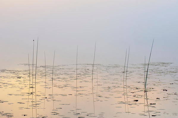 Foggy Bulrush Morning