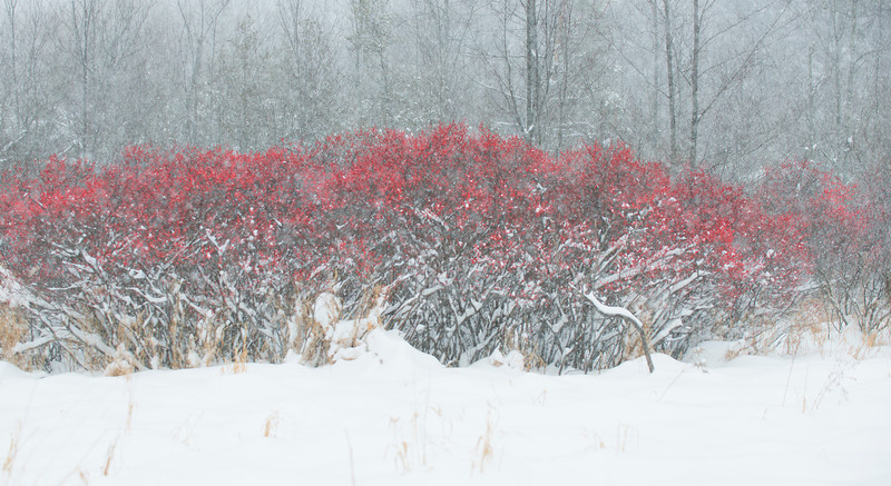 Michigan holly in a snowstorm.