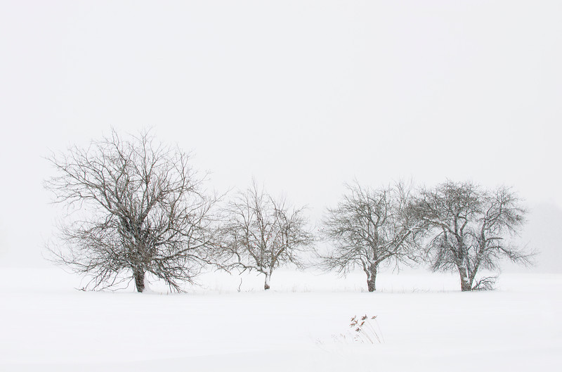 Apple Trees in Snow
