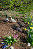 Ducks and geese with spring flowers at the Dutch Village near Holland, Michigan, USA.