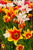 Spring tulips in downtown Holland, Michigan, USA.