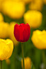 A lone red tulip in a bed of yellow tulips in a garden in Holland, Michigan, USA.