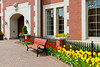 A rwo of tulips with fence in downtown Holland, Michigan, USA.