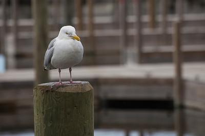 Suspicious Gull