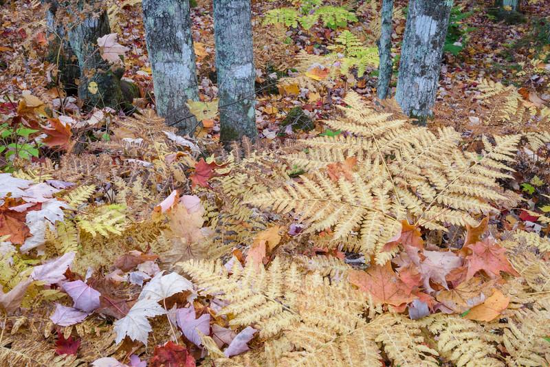 MI 224<br /> <br /> Autumn ferns and fallen leaves in a forest near Bond Falls.  Ontonagon County, Michigan.