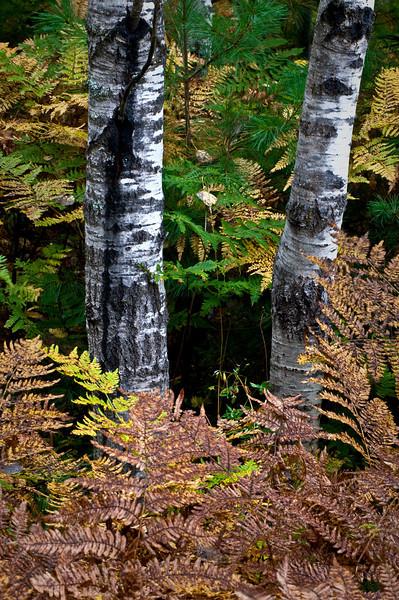 MI 030<br /> <br /> Autumn ferns and birch trunks in Hiawatha National Forest, Michigan.