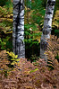 MI 030<br /> <br /> Autumn ferns and birch trunks in Hiawatha National Forest, Michigan.