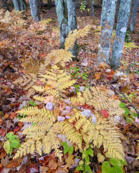 MI 223<br /> <br /> Autumn ferns and fallen leaves in a forest near Bond Falls.  Ontonagon County, Michigan.