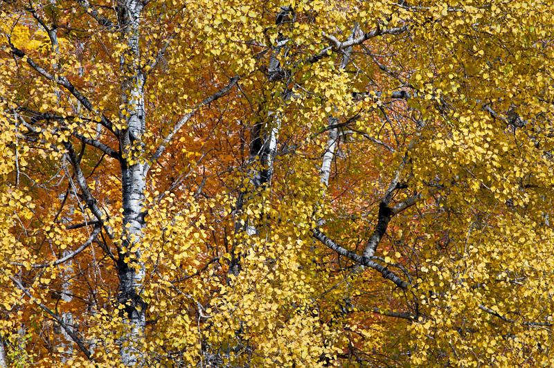MI 205                        Birch trees in peak autumn color on Stream Road near Crystal Falls, Michigan.