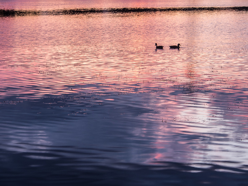 Loons at Sunset, Loon Lake, Michigan