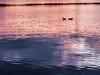 Loons at Sunset, Loon Lake, Michigan