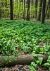 MI 233<br /> <br /> Wild leaks and mayapples blanket the forest floor as spring comes to a Michigan forest.