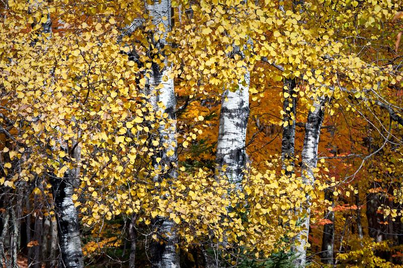 MI 207                            Birch trees in peak autumn color on Stream Road near Crystal Falls, Michigan.