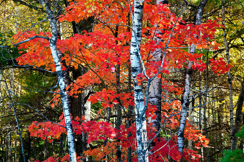 MI 208<br /> <br /> Morning light on birch and maple trees in fall color along side Oss Road near Crystal Falls in Michigan's Upper Peninsula.