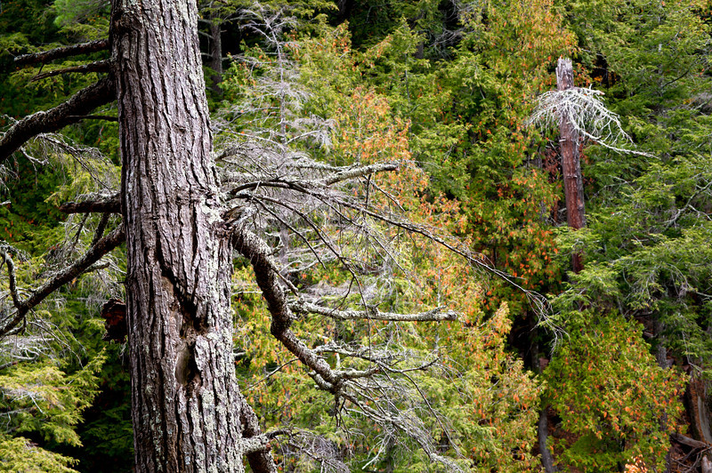 M 148<br /> <br /> Skeletons of old growth hemlock trees dot the forest in the Porcupine Mountains Wilderness State Park, Michigan.