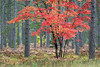 MI 216 A maple sapling shows off its autumn colors in Hiawatha National Forest, Upper Peninsula, Michigan.