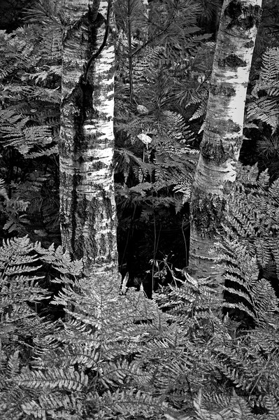 MI 031                       Autumn ferns and birch trunks in Hiawatha National Forest, Michigan.