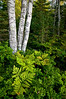 MI 022<br /> <br /> Birch tree trunks and ferns on the shore of Lake Superior.