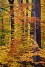 MI 047                      Autumn colors at Warren Woods State Park in Michigan.