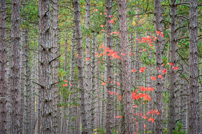 MI 217 Crimson maple leaves add their autumn color to a stand of conifers in Hiawatha National Forest, Upper Peninsula, Michigan.