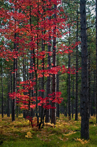 MI 014<br /> <br /> A maple tree in full autumn color in Hiawatha National Forest, Michigan.