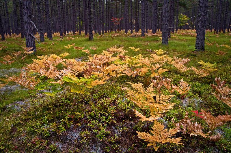 MI 015                       Autumn ferns in Michigan's Hiawatha National Forest.