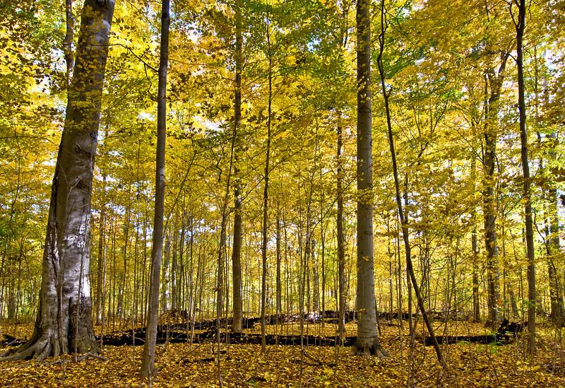 MI 048                       Autumn colors at Warren Woods State Park in Michigan.