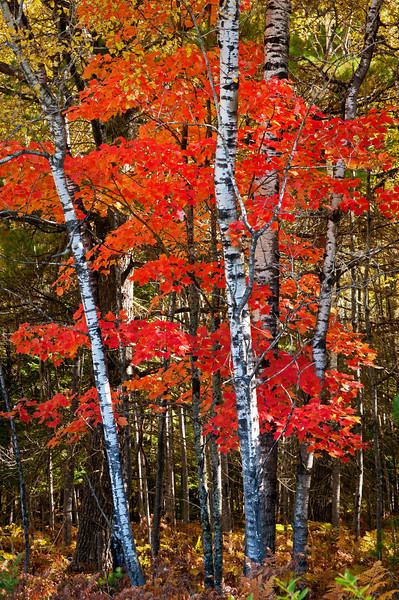 MI 209                             Morning light on birch and maple trees in fall color along side Oss Road near Crystal Falls in Michigan's Upper Peninsula.