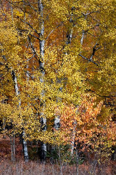 MI 206                          Birch trees in peak autumn color on Stream Road near Crystal Falls, Michigan.