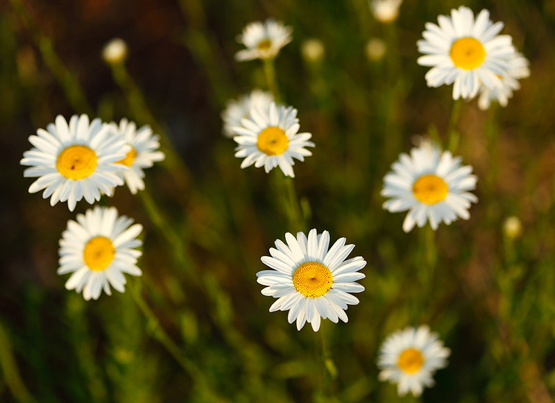 One Among Many - Daisy Patch (Porcupine Mountains State Park - Upper Michigan)
