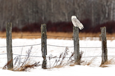 The Watchman - Snowy Owl (Upper Michigan)
