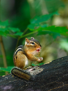 Eastern Chipmunk - Upper Michigan