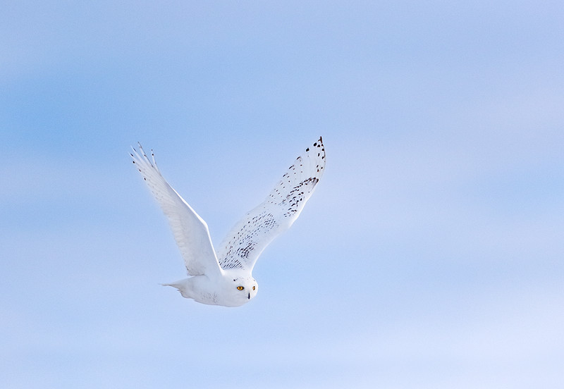 Fly By - Snowy Owl (Upper Michigan)