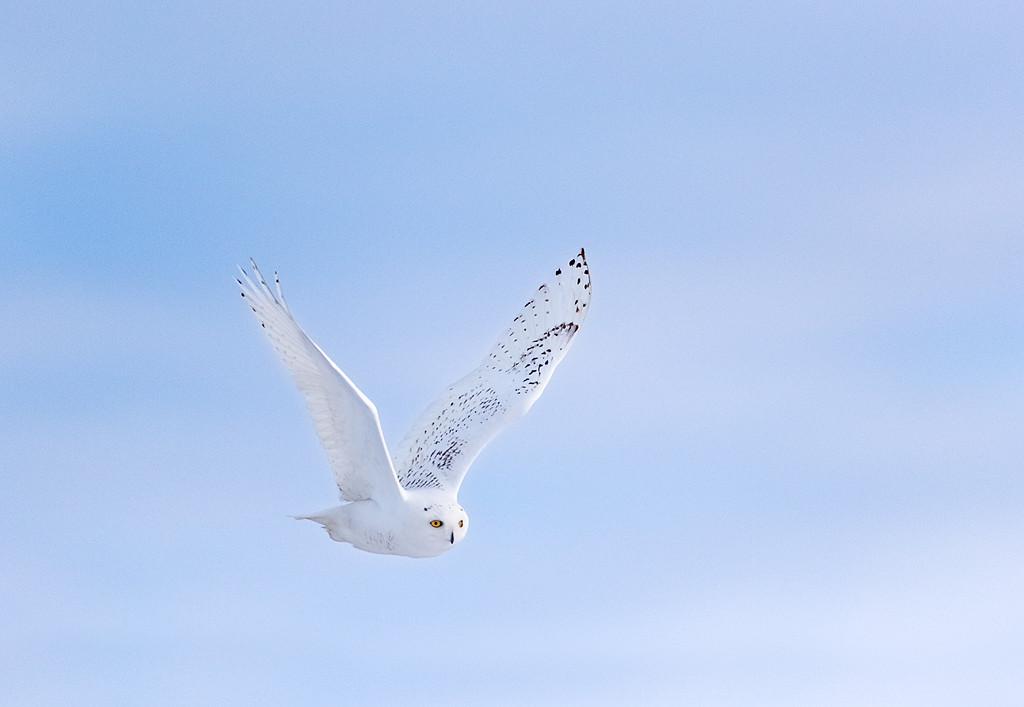 Fly By - Snowy Owl (Upper Michigan)