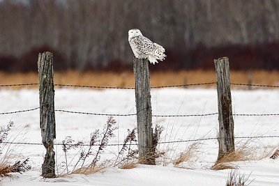 The Watchman II - Snowy Owl (Upper Michigan)