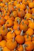 Closeup of pumpkins for sale at the Sturgeon Pumpkin Barn farm near Cross Village, Michigan, USA.