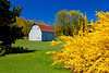 A barn with spring Forcythia bushes on the Old Mission Peninsula near Traverse City, Michigan, USA.