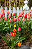 A white picket fence with tulip beds on the Old Mission Peninsula near Traverse City Michigan, USA.