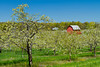 Cherry trees in bloom with barn on the Old Mission Peninsula near Traverse City, Michigan, USA.