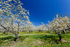 Cherry trees in bloom on the Old Mission Peninsula near Traverse City, Michigan, USA.