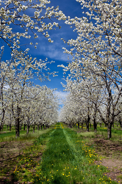 Cherry trees in bloom in the orchards of the Leelanau Peninsula near Traverse City, Michigan, USA.