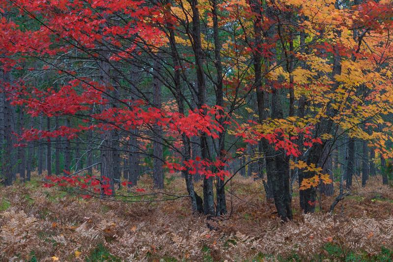 Ferns and maples display their Autumn best. Hiawatha National Forest, MI<br /> <br /> MI-080927-0081