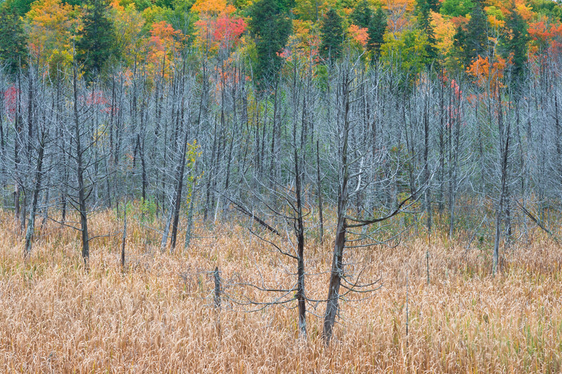 The blue hues of the dead trees contrast against the brown grasses and the fall color in the distance. Upper Peninsula, MI<br /> <br /> MI-080928-0078