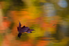 A maple leaf floats above the reflected Autumn color on Council Lake. Hiawatha National Forest, MI<br /> <br /> MI-080926-0068