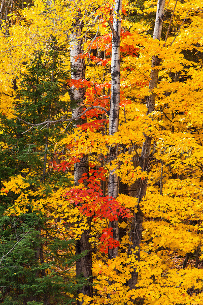 Fall foliage color in the trees of the deciduous forests of the Upper Penninsula, Michigan, USA.