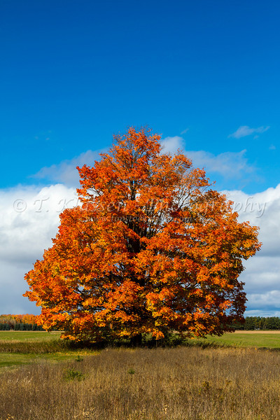 Fall foliage color in a lone stately maple tree in the Upper Penninsula of Michigan, USA.