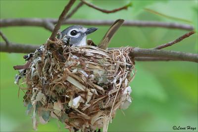 Blue-headed Vireo on the nest