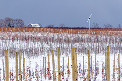 Snow-covered Vineyard